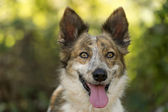 Dog happy and beautiful Collie — Stock Photo