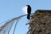 Raven moon — Stock Photo