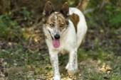Dog walking outdoors — Stock Photo