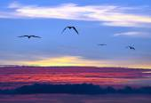 Sunset Sky Birds Aerial Flying and Soaring Above the Clouds — Stock Photo