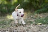 Puppy Dog Running Playful Jumping Outdoors — Stock Photo