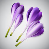 Realistic purple crocuses set — Stock Vector
