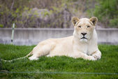 White lioness in toronto zoo — Stock Photo