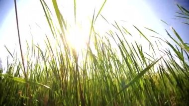 Large grass blades moving in the wind with sun light on the back — Stock Video