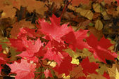 Fire red leaves — Stock Photo