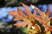 Maple leaves in automn — ストック写真