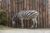 Zebra 1 — Stock Photo
