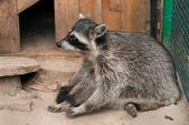 Raccoon — Stok fotoğraf