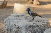 Crow in Rome — Photo