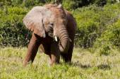 Young elephant in long grass — Stock Photo
