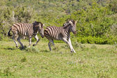 Zebra chasing each other — Stock Photo