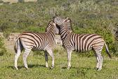 Zebras rubbing heads — Stock Photo