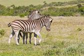 Zebras playing — Stock Photo