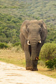 Elephant walking down a gravel road — Stock Photo