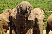 Large elephant drinking — Стоковое фото