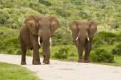 Two elephants on a gravel road — Stockfoto