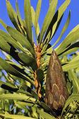 Unopened Protea flower — Stock Photo