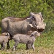 Warthog mother and young — Stock Photo #61866337
