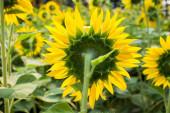 Back view of yellow sunflowers — Stock Photo