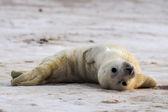 Young Grey Seal pup — Stock Photo