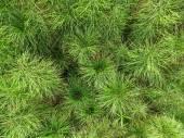 Equisetum horsetail — Stock Photo