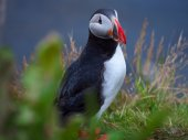 Cute Atlantic puffin in Iceland — Stock Photo