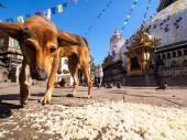 Dakloze hond in bouddhanath stupa — Stockfoto