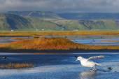 Paisagem Fulmar e Islândia — Fotografia Stock