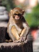 Sitting monkey on swayambhunath stupa — Stock Photo