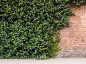 Old brick wall and wild grapes — Stock Photo