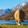 Alp mountains and swiss cow — Stock Photo #57677267