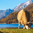 Alp mountains and swiss cow — Stock Photo #57677283