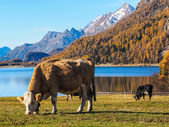 Alp mountains and swiss cows — Stock Photo