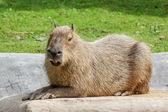 Capybara — Photo
