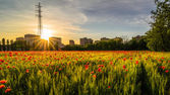Grain and poppies — Stock Photo