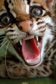 The ocelot or dwarf leopard (Leopardus pardalis) that lives in s — Stock Photo