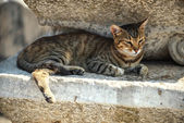 Turkey, Ephesus, a cat (Felis catus) in ruins of the ancient rom — Stockfoto