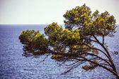 Tree and azure sea water, Menorca, Balearic Islands, Spain  — Stock Photo