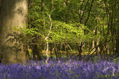 Sunny evening in a bluebells — Stock Photo