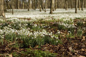 Snowdrops woodlands — Stock Photo