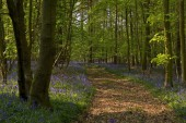 Bluebell road in the woodland — Stock Photo