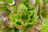 Background of a closeup of fresh lettuce — Foto de Stock