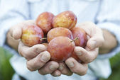 Close Up Of Man Holding Freshly Picked Plums — Stock Photo