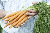 Close Up Of Man Holding Freshly Picked Carrots — Stock Photo