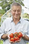 Senior Man In Greenhouse With Home Grown Tomatoes — ストック写真