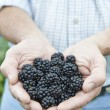 Close Up Of Man Holding Freshly Picked Blackberries — Stock Photo #55077529