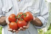 Close Up Of Man Holding Home Grown Tomatoes — Stock Photo