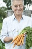 Senior Man On Allotment Holding Freshly Picked Carrots — Stock Photo