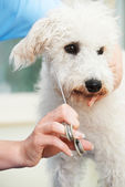 Pet Dog Being Professionally Groomed In Salon — Stock Photo