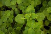 Plectranthus amboinicus — Stock Photo